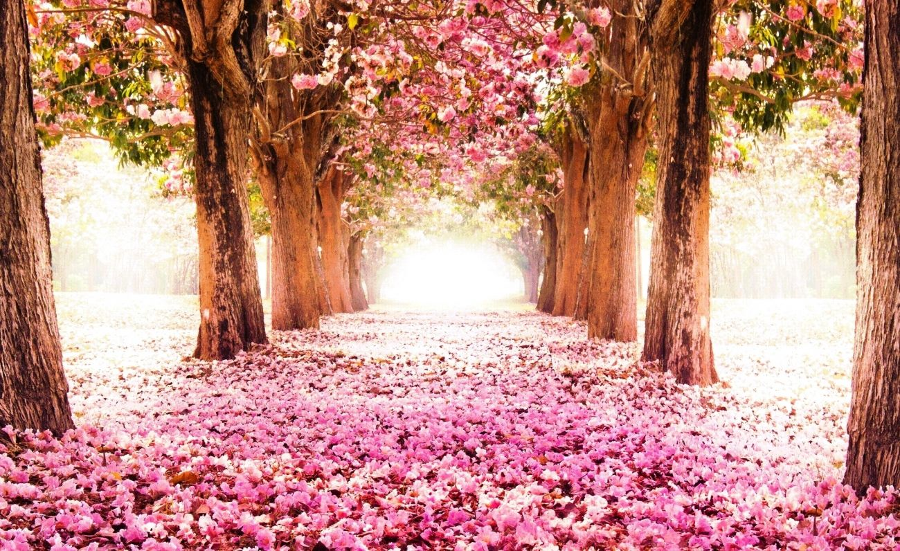 Download Cherry Blossom Wallpaper For Ipad Pro High Quality Hd Wallpaper In 2k 4k 5k 8k 10k Resolution Fo Spring Wallpaper Cherry Blossom Wallpaper Tree Tunnel