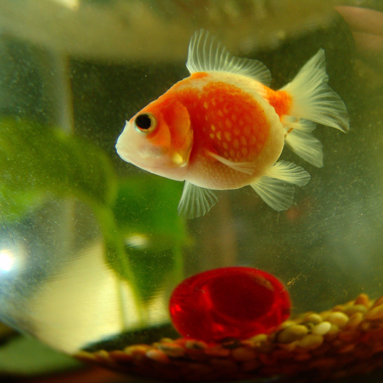 Pin by Watha Dubonnet on fancy goldfish Pinterest