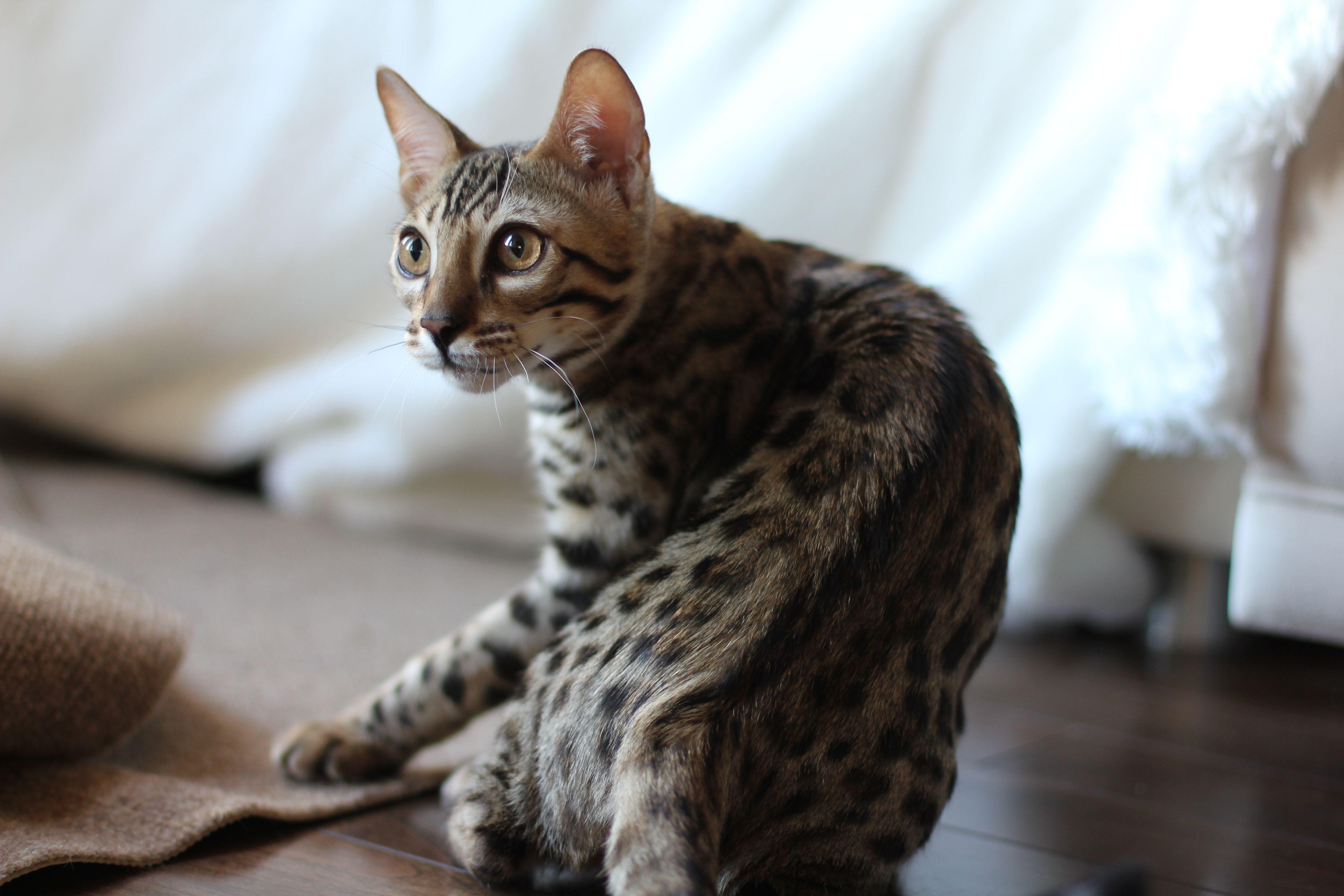 4 month old bengal kitten canaan bengal kitten bengal