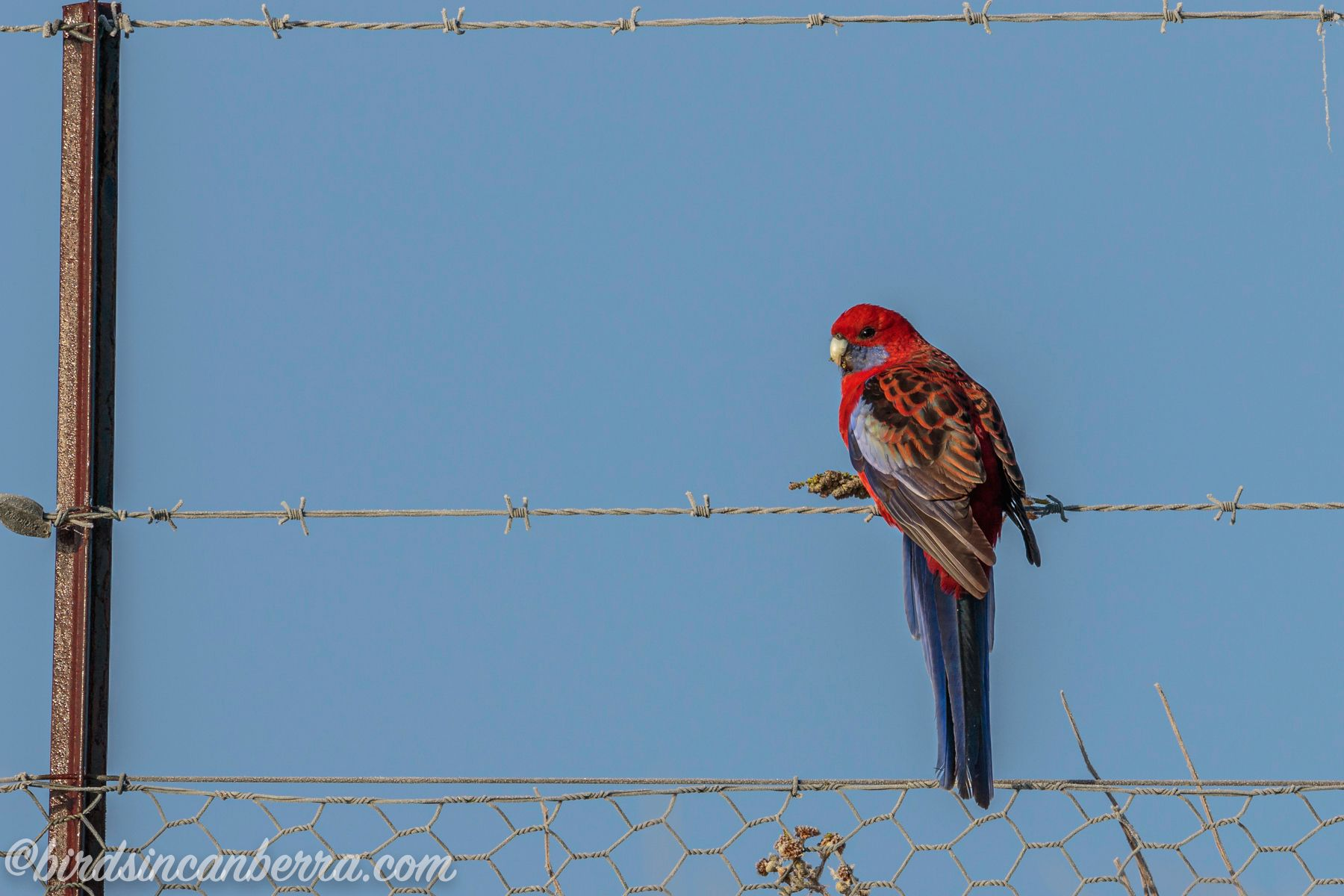 Crimson Rosella eating a flower head on a fence at