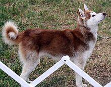 Alaskan Klee Kai Wikipedia The Free Encyclopedia Alaskan Klee Kai Puppies And Kitties Animals