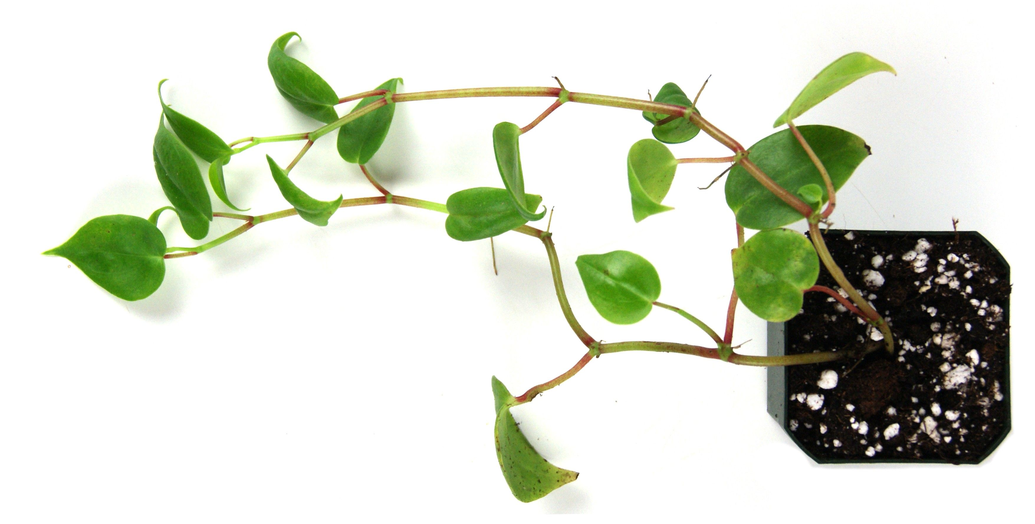 Baby Rubber Plant, Peperomia Obtusifolia - Cat Safe Houseplants - Pinterest