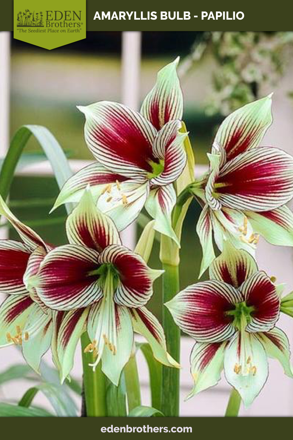 Amaryllis Bulb Papilio PreSale Now; Ships Fall 2020