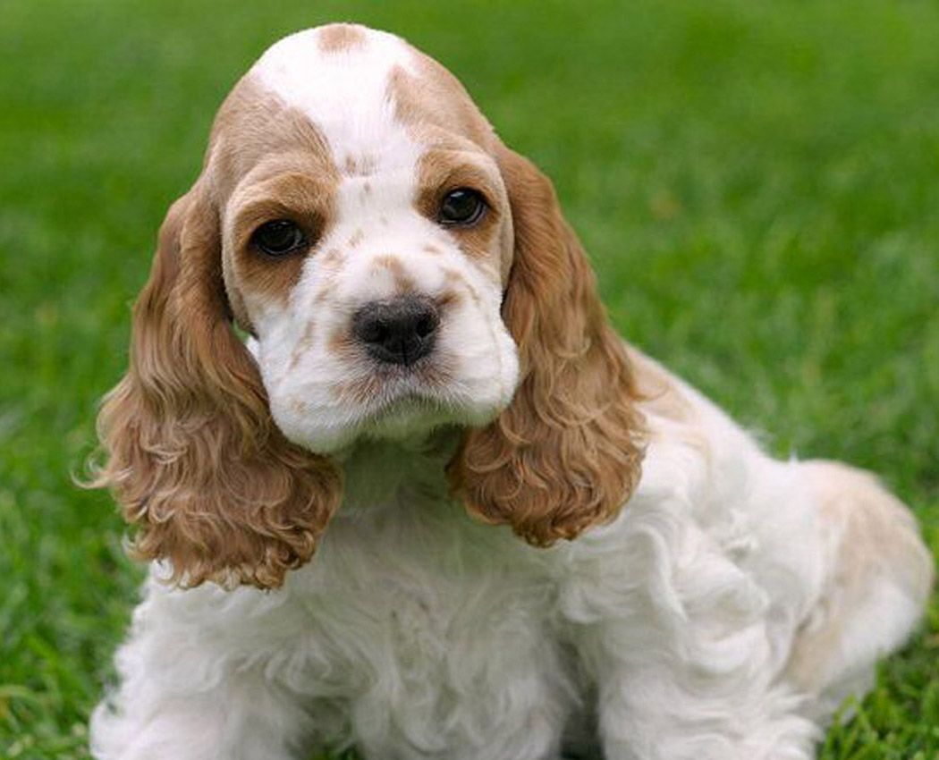 How Is It Possible To Turn Down These Fun Loving Puppy Eyes Cocker Spaniel Puppies Spaniel Puppies Cocker Spaniel