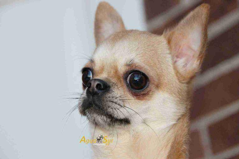 Antes De Comprar Tu Chihuahua Chihuahua Chihuahua Baby Chihuahua Chihuahua Puppies