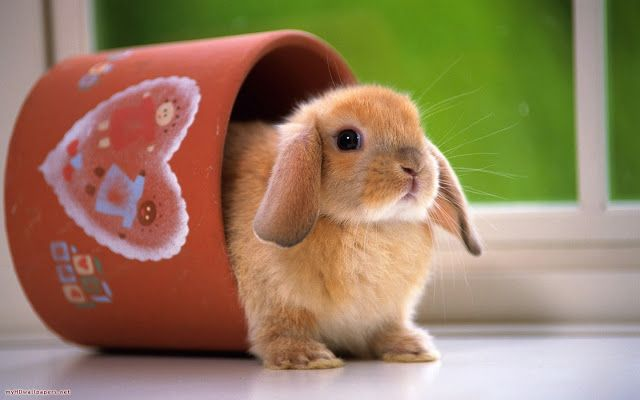 Top 33 Beautiful And Cute Rabbit Wallpapers In HD - | HDhut.blogspot.com,Download Funny Videos, Amazing Videos, Shocking Videos, Interesting Facts,Places