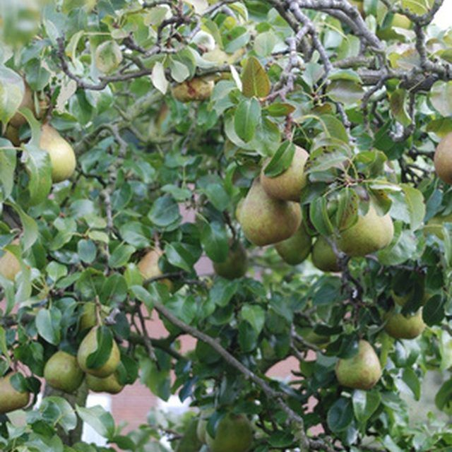 How To Cross Pollinate An Ayers Pear Tree Hunker Tree Seeds