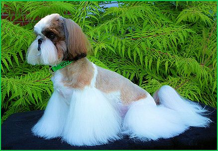 Bis Int Am Grand Champion Mr Foo S Woofgang Amadeus Mozart Call Name Mozart Shih Tzu Breeders Shih Tzu Puppy Shih Tzu