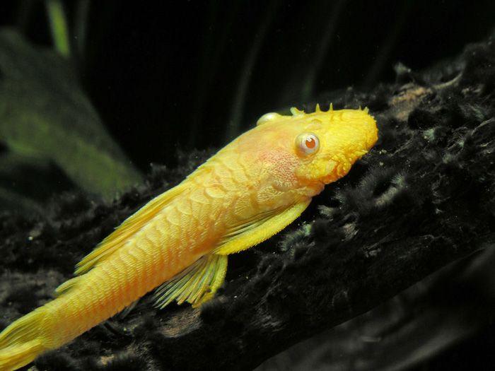 Image Result For Yellow Bristlenose Pleco Plecostomus Tropical Fish Aquarium Catfish