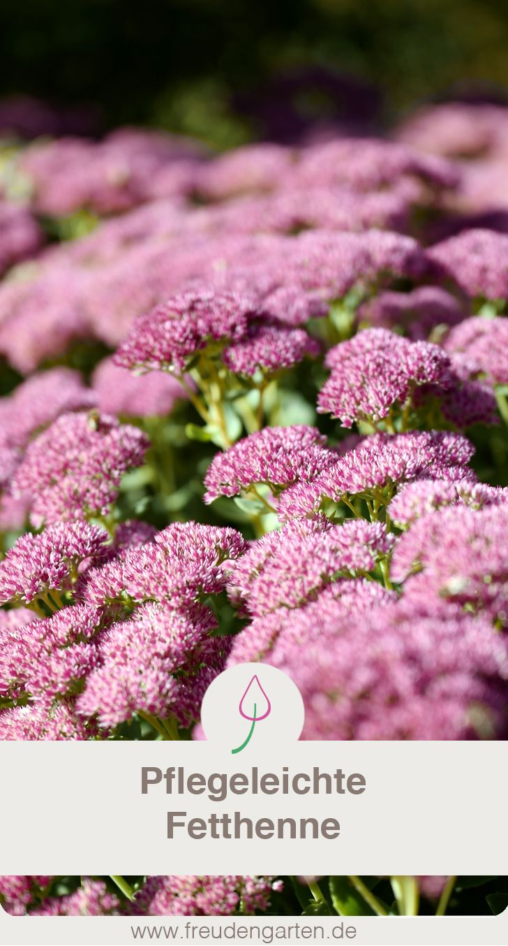 Purpur-Fetthenne - Blütentraum im Herbst!   House Greenhouse ...