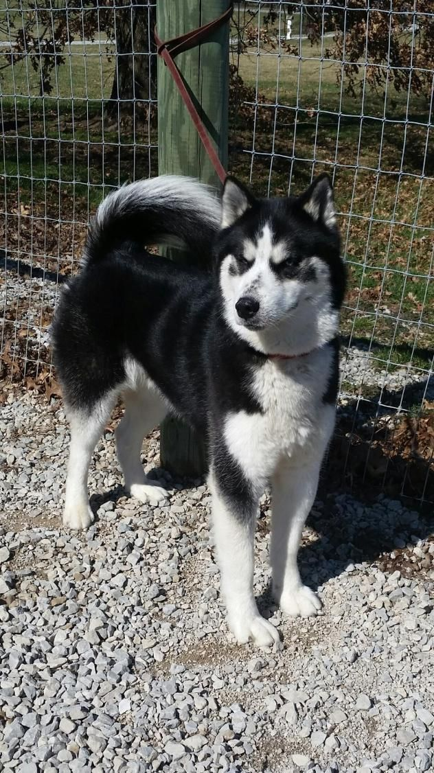 Adopt Damien On Ohio Oh Dogs Husky Husky Husky Husky Mix