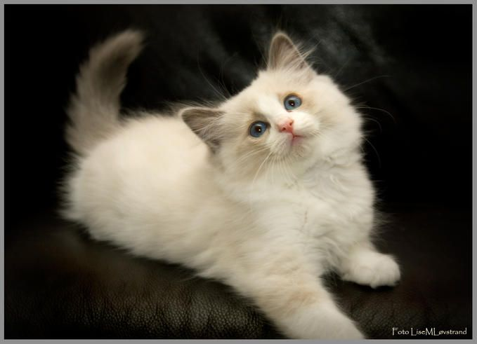 17 Best images about Ragdolls on Pinterest | Cute cats, Kittens ...