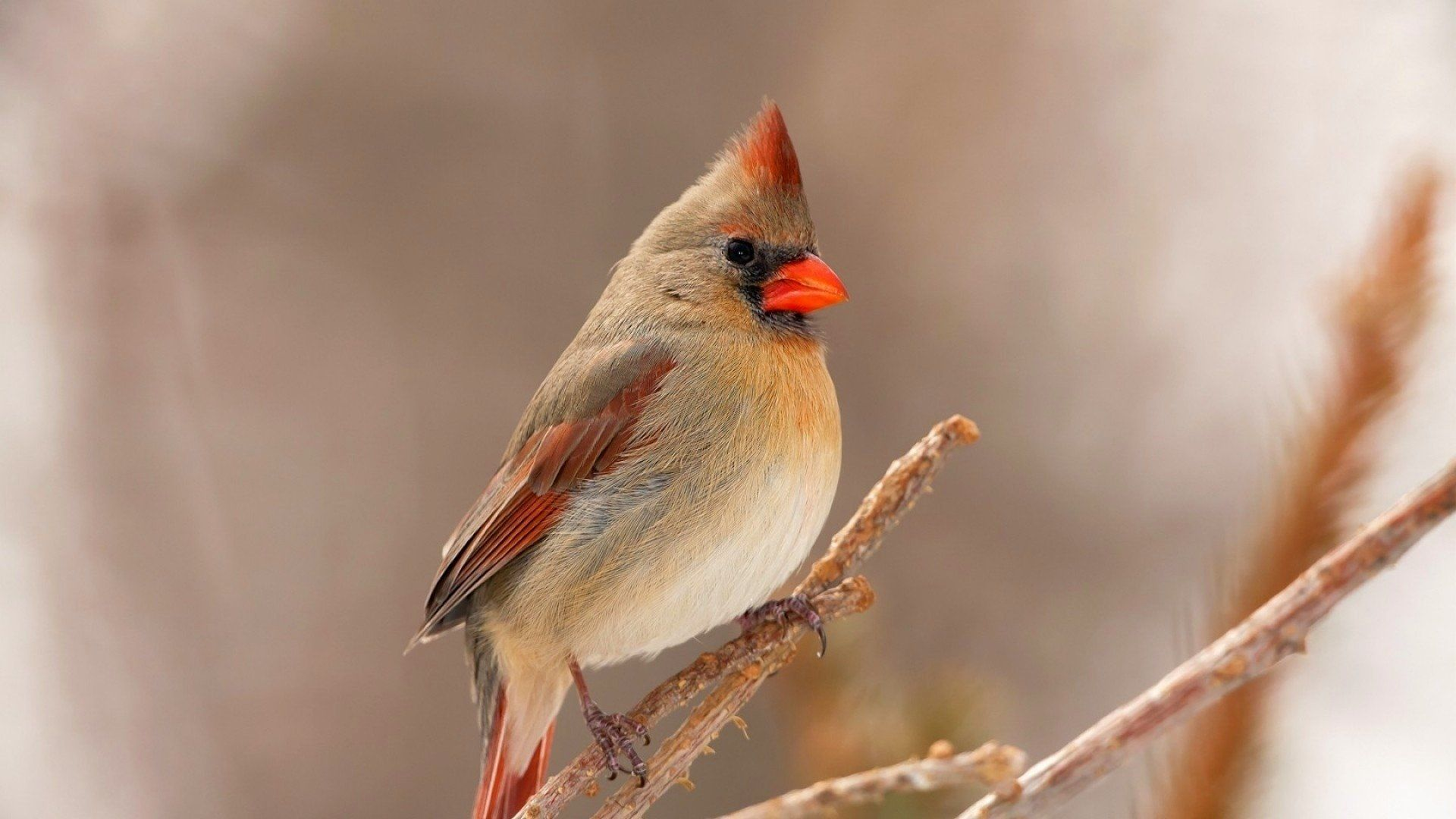 1920x1080 Female Cardinal Wallpaper Background Image. View