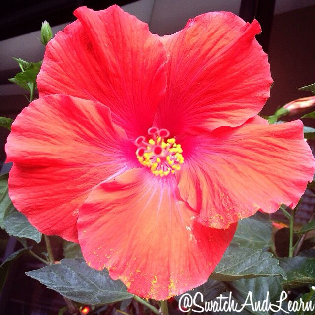 Pretty hibiscus. (Emoji in real life.)
