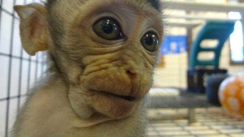 Affe als Haustier eine gute Idee? (mit Bildern) Affe