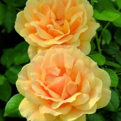 Easy Going Rose Hybrid Tea Roses Beautiful Roses Rose