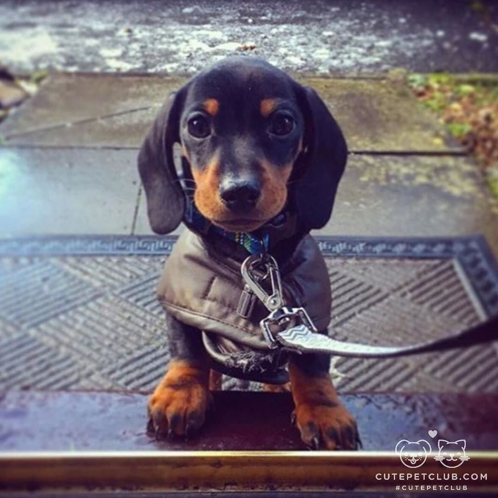 Cute Pet Club On Mini Dachshund Dachshund Dachshund Puppies