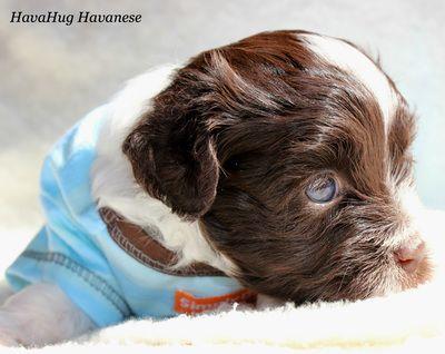 Chocolate Havanese Puppy <3 Blue Eyes <3 Sweet Boy www