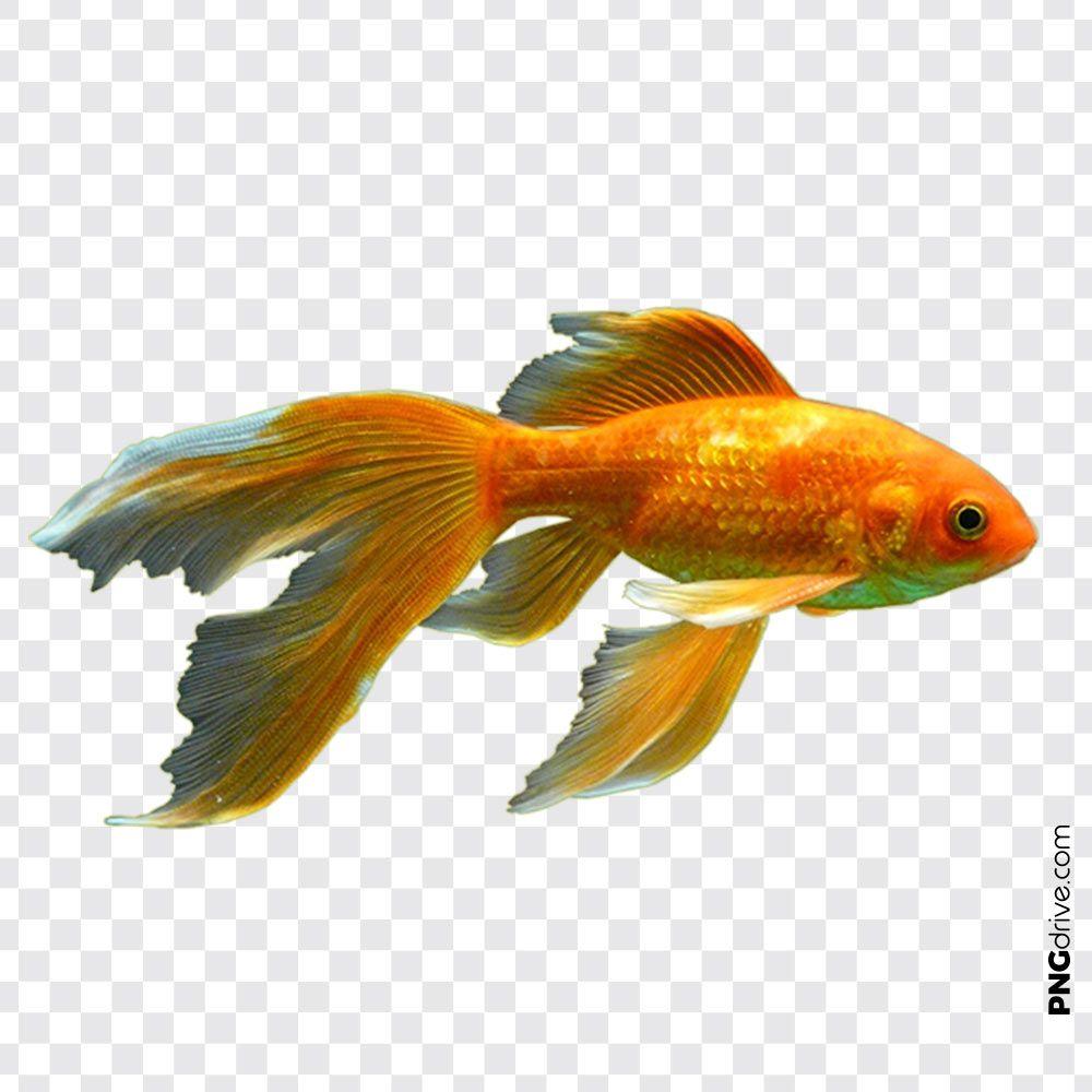 Goldfish Png Alpha Compositing Animals Aquarium Bony Fish Feeder Fish Birds Flying Goldfish Studio Background Images