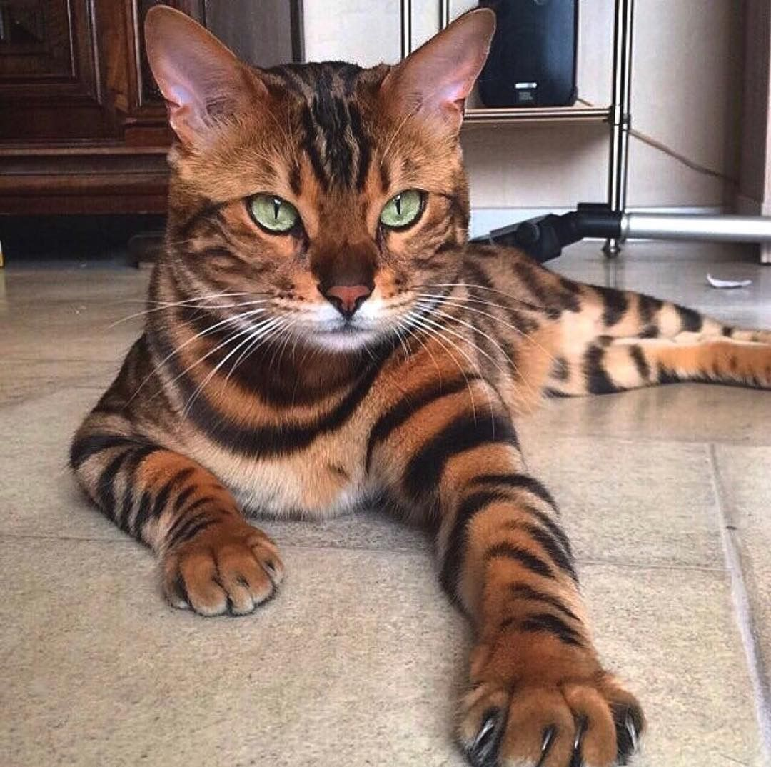 Serious Face Hypoallergenic Cats Rare Cat Breeds Toyger Cat