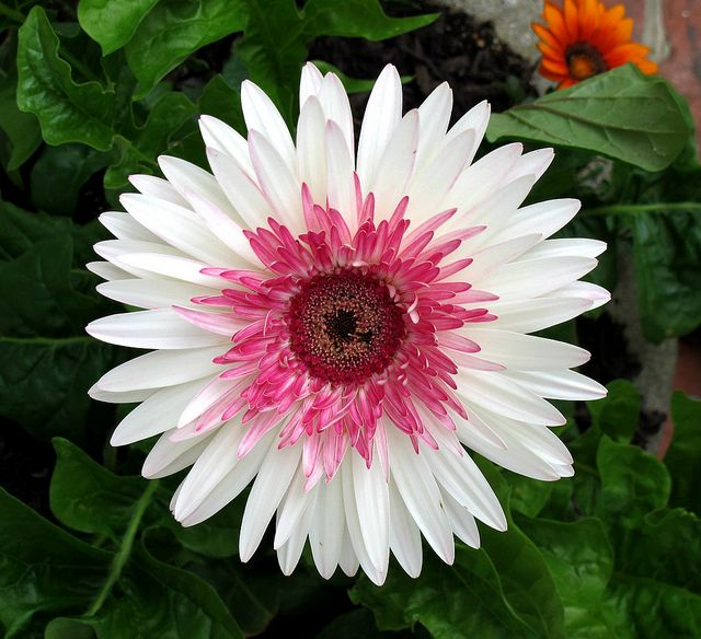 Watermelon Gerbera Daisy Kentlands Spring Flowers Img 0660