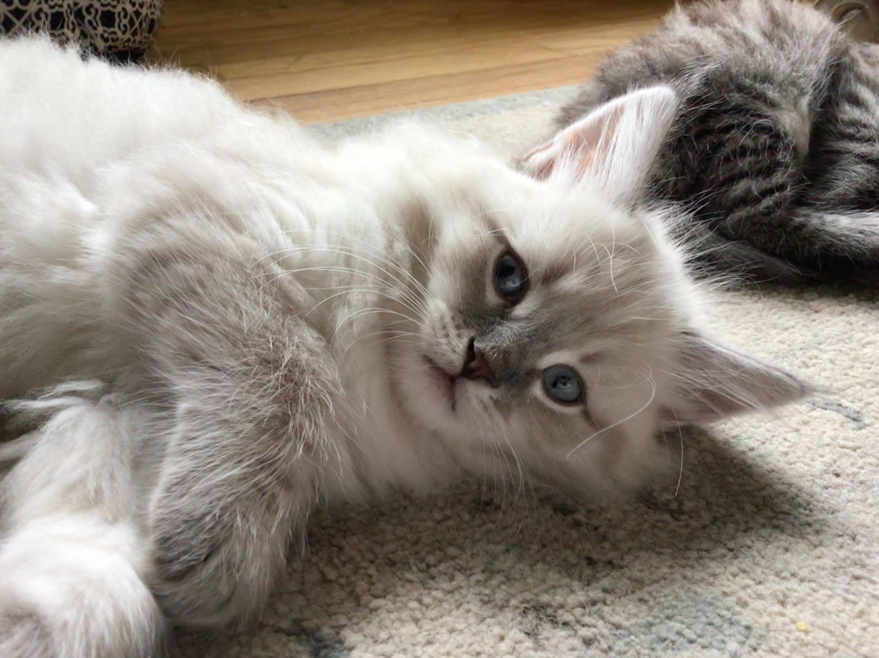 Pin by Jennifer Krochko on Siberian kittens whispurrs