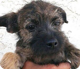 Farfel S Rescue Boulder Co Cairn Terrier Norfolk Terrier Mix