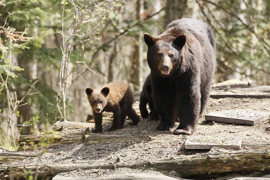 Yosemite Bears A Great Adventure Tripatini Black Bear Yosemite Bears Bear