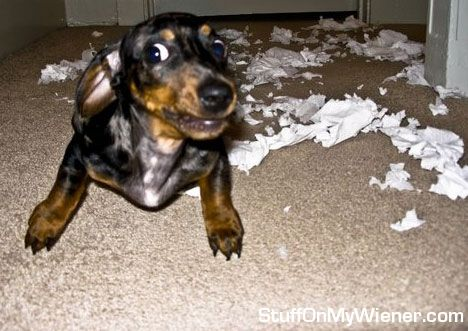 Ty With Chewed Up Toilet Paper Doxie Puppies Dachshund Love