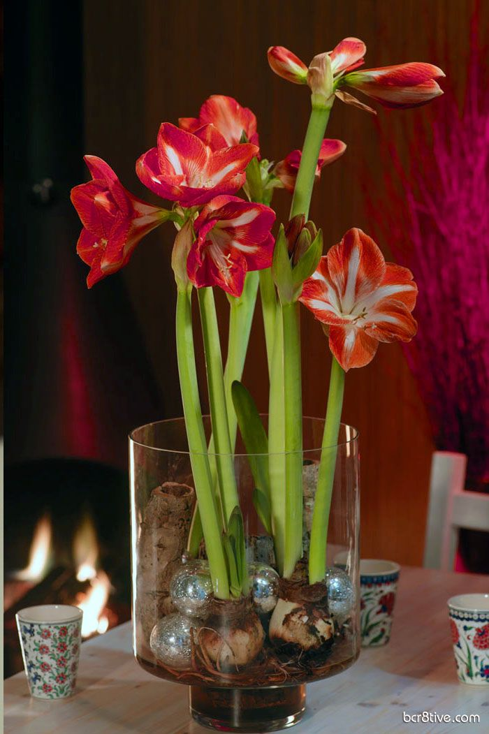 Decorate for Spring with Forced Bulbs for Indoor Blooms #amaryllisdeko