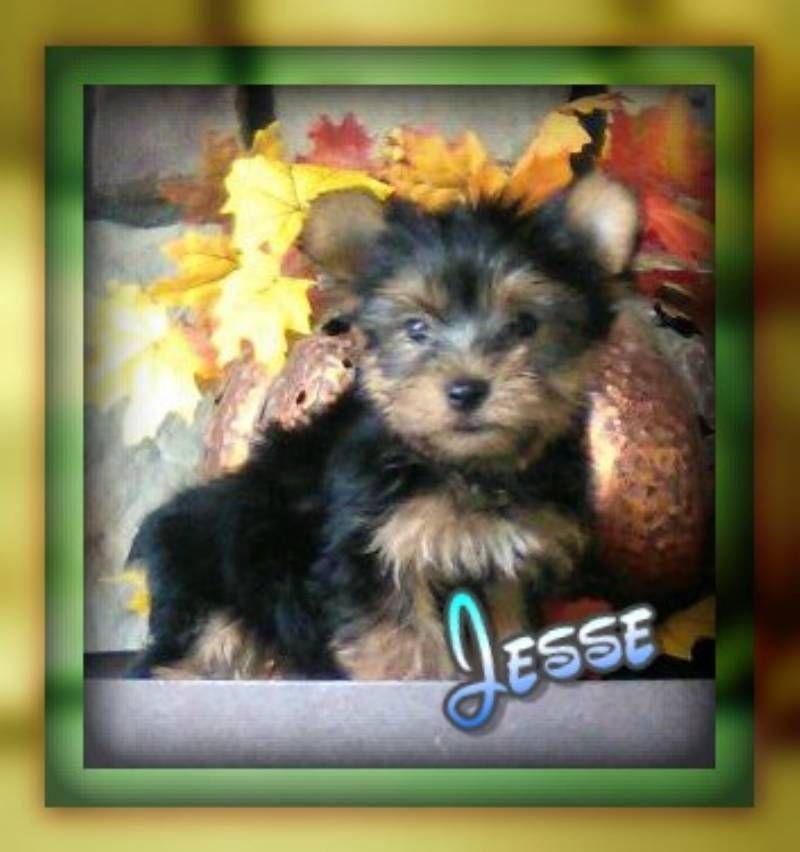 Jesse male yorkie 1800 yorkie yorkie puppy for sale
