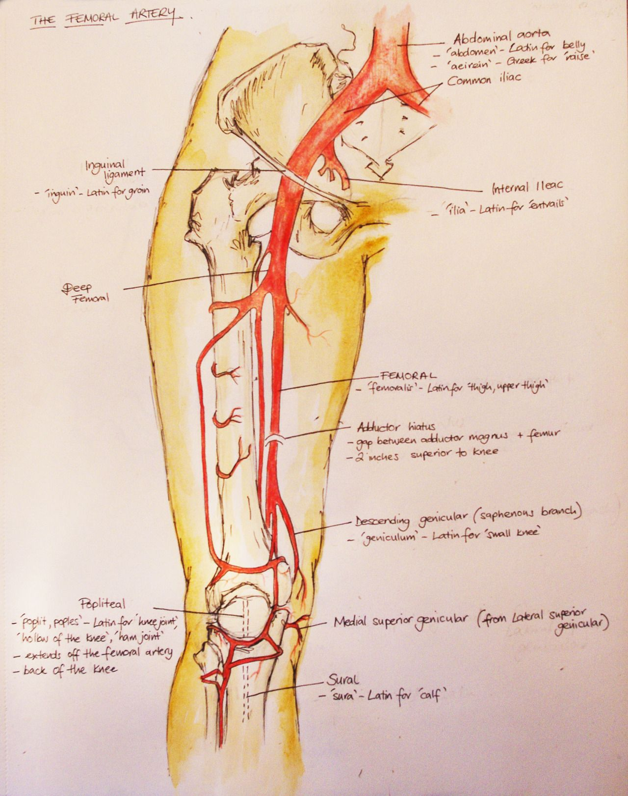 Systemic Circlation The Femoral Artery Anatomy Pinterest