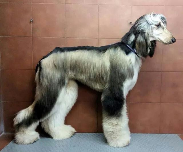 Domino boy 1 year old | Beautiful dogs | Afghan hound puppy