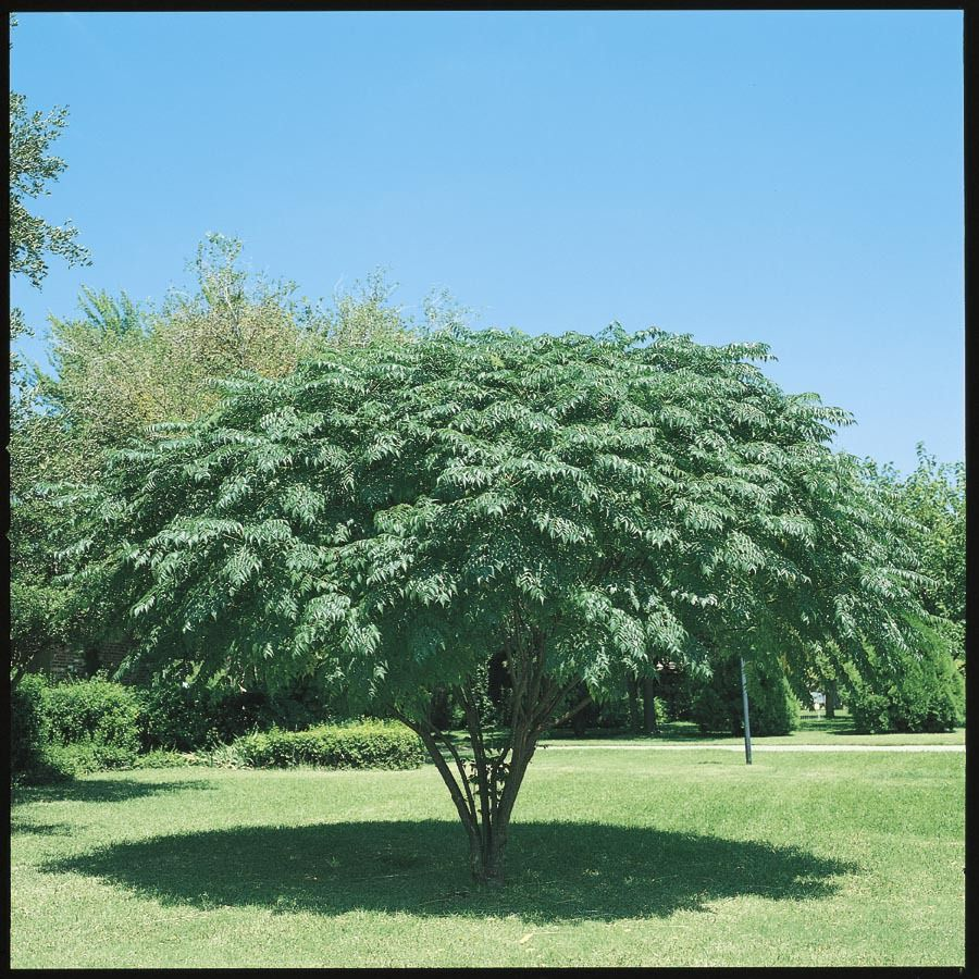 Shop 1025 Gallon Texas Umbrella Tree L7407 At Lowescom Home