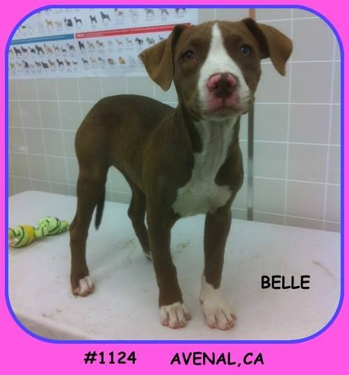 Avenal Animal Shelter Friends Belle Is A 3 4 Month Pitty Mix