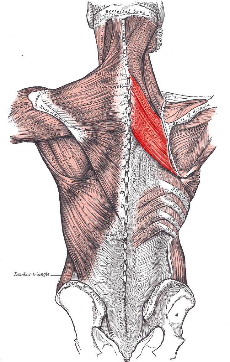 hight resolution of rhomboid muscles a tucked pelvis and the psoas
