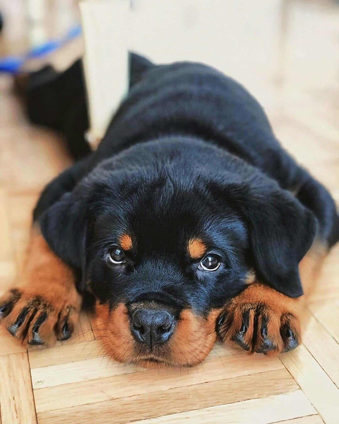 Pin By Jorge Robalino On Hunde In 2020 Rottweiler Puppies Rottweiler Pictures Rottweiler Love