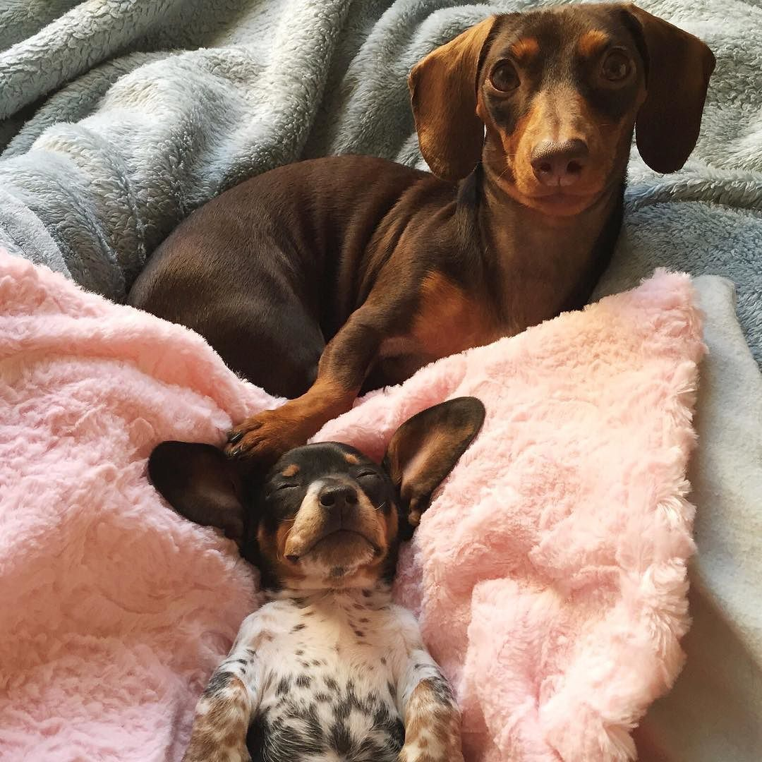 Harlow Sage Indiana Reese On Instagram Adventures In Puppysitting Pet Dogs Doggy Dachshund Lovers