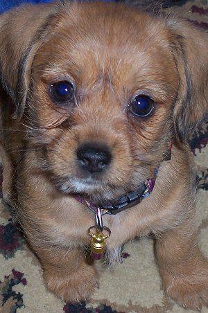Lucy The Schweenie Puppy At 8 Weeks Old Dachshund Shih Tzu