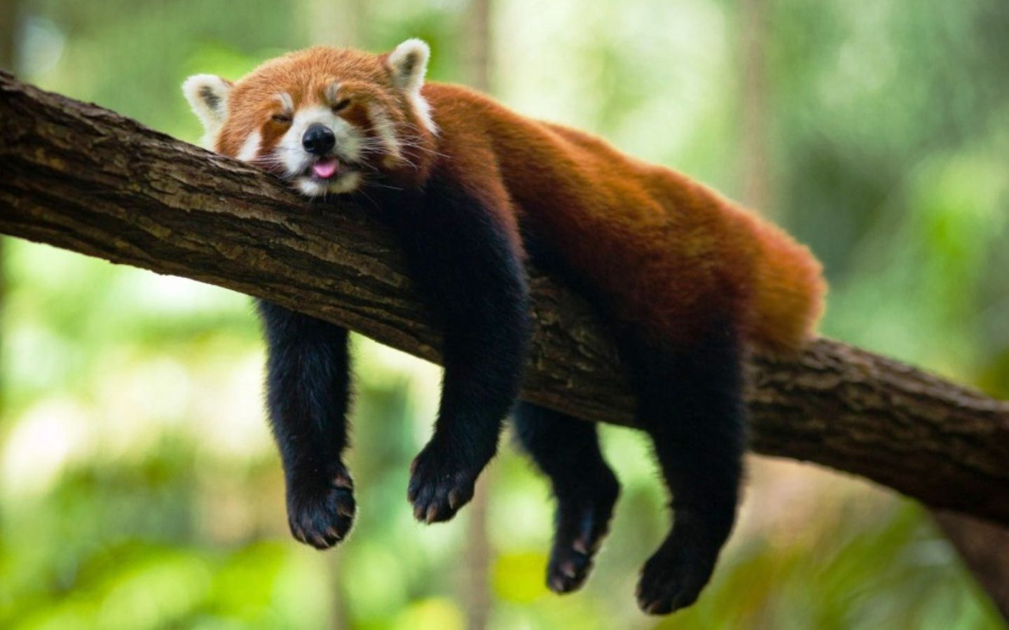 Wallpaper Red panda Panda Fluffy Lie HD Picture Image