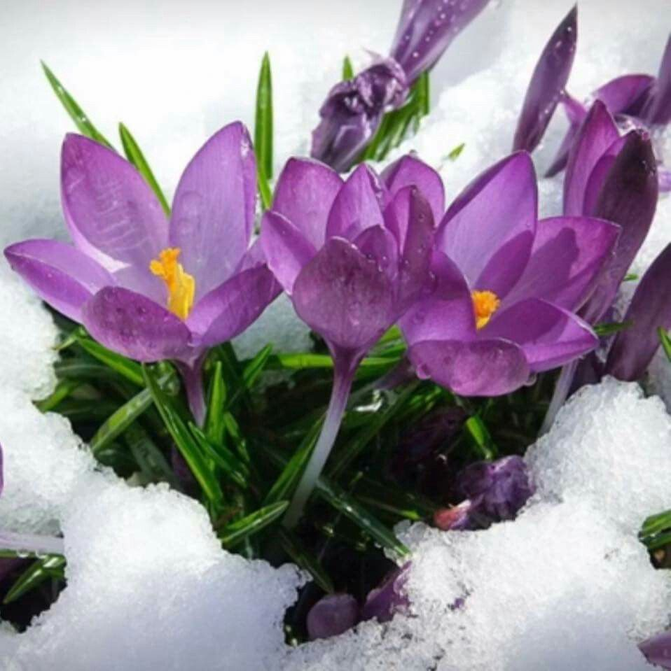 Pin By Cyndy Simons On Who Tells The Crocus Its Spring Pinterest