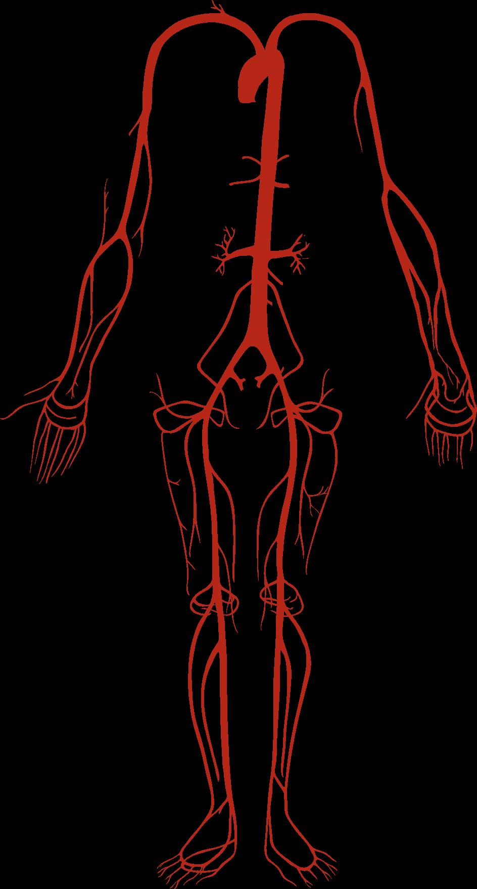 Arterias – Definición, función, estructura y tipos | Anatomia ...