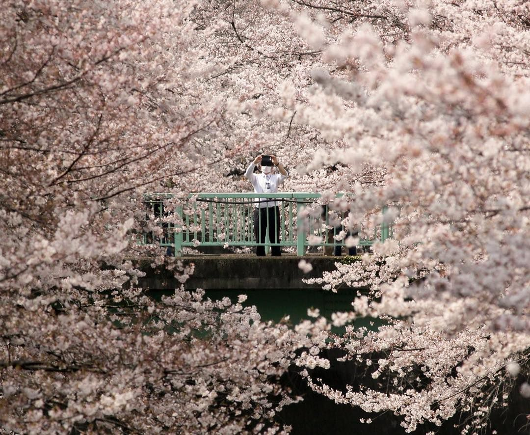 The Guardian On Instagram A Businessman Is Dwarfed By Cherry Blossoms In Full Bloom In Tokyo Ph Japan Cherry Blossom Festival Hanami Cherry Blossom Festival