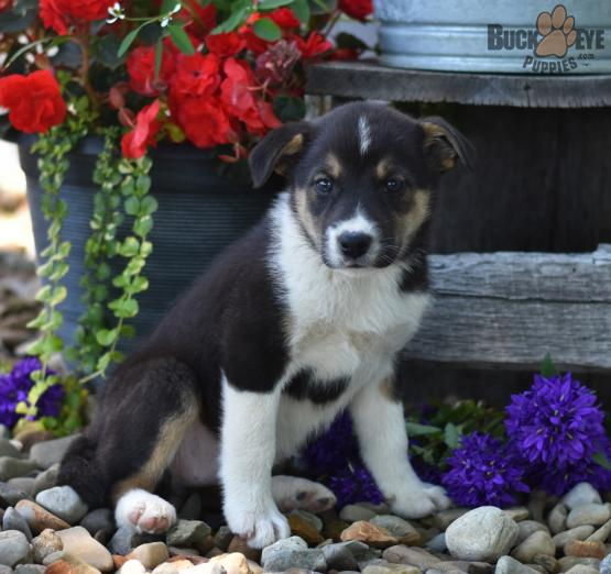 Lacey Australian Shepherd Mix Puppy For Sale In Shreve Oh