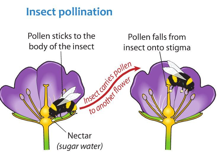 pollination insect diagram beetle insect diagram