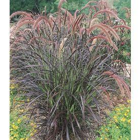Shop 2.84-Quart Purple Fountain Grass (L8564) at Lowes.com