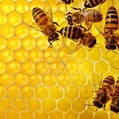 #Soro contra veneno de abelhas começa a ser testado em humanos - Tribuna Hoje: Tribuna Hoje Soro contra veneno de abelhas começa a ser…