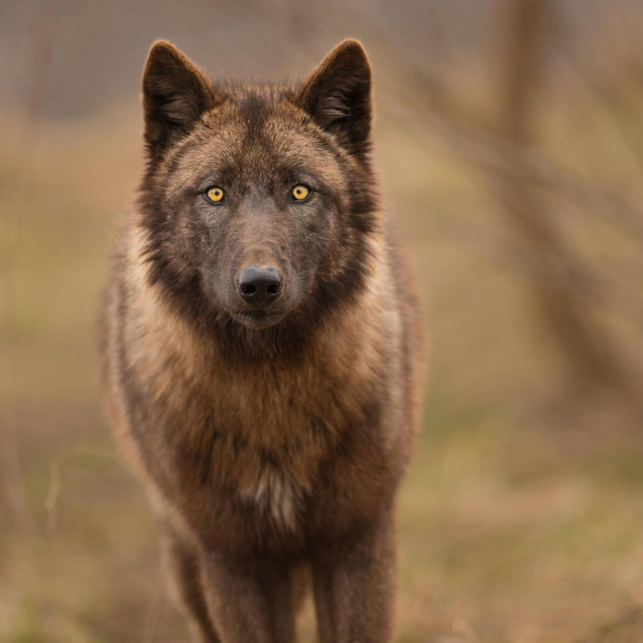 Pin by Wolfie on Creatures | Animals wild, Beautiful wolves, Wolf dog