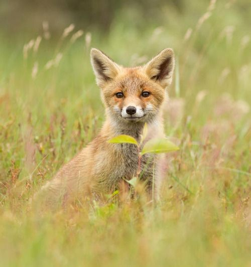 beautiful-wildlife:  Fox Kit by Roeselien Raimond