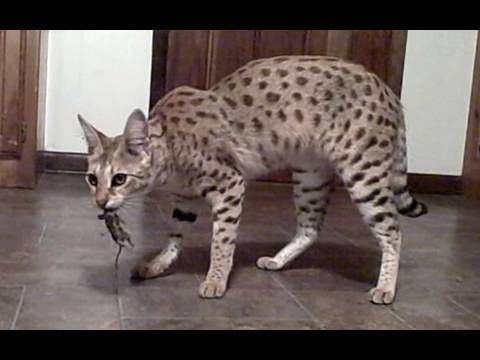 World S Tallest Pet Cat Magic A Female F1 Savannah Cat